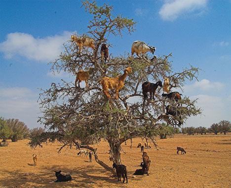 amazing-goats
