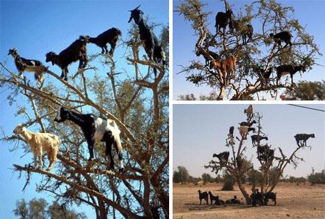 tree-climbing-goats